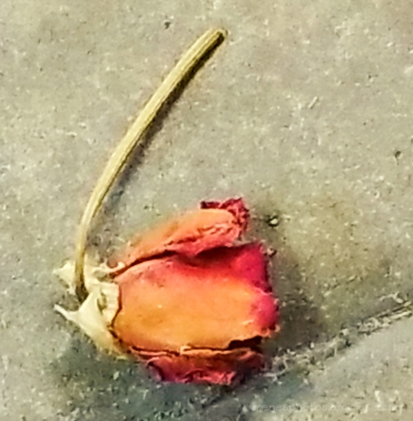 Dried Up Rose