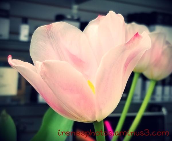 Tulip ? On 01.26.2019