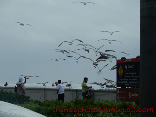 Seagulls Being Fed at Ocean Beach