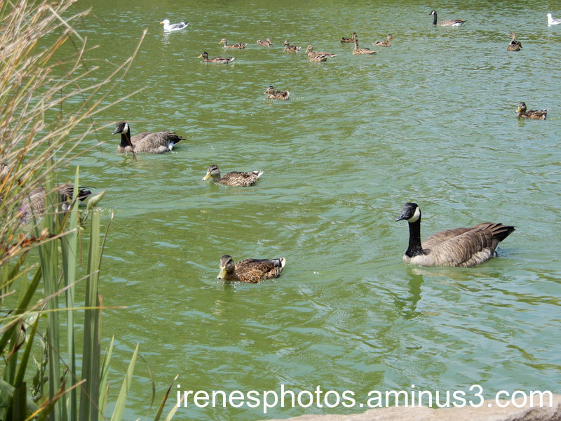 Ducks and Geese