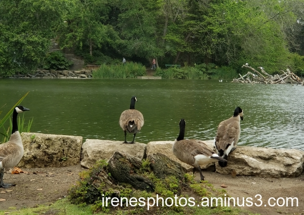 Canada Geese on 05.28.2020