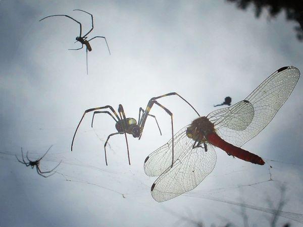 spider dragonfly