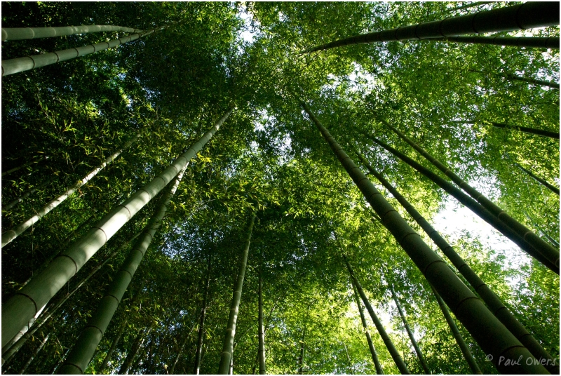Bamboo forest, Kyoto hills, Japan