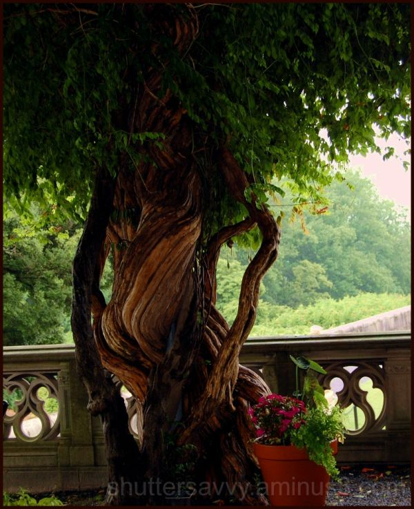 Twisted knotty tree at the Biltmore