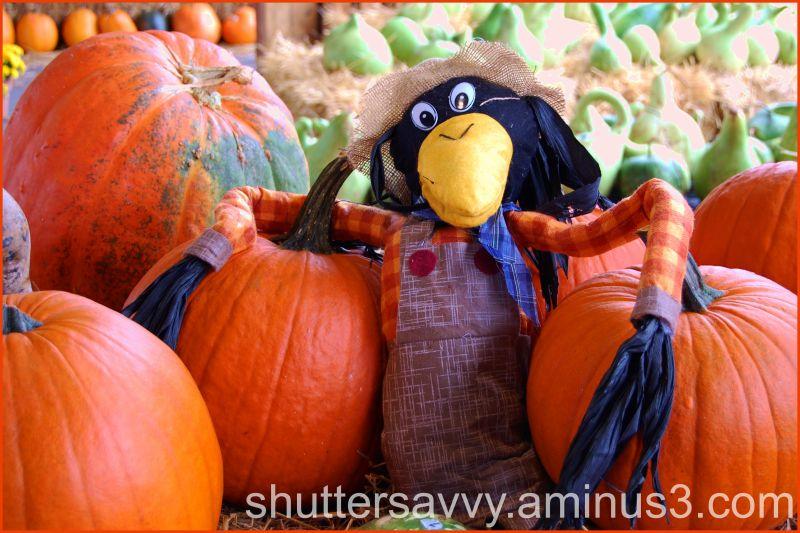 Crow and Pumpkins
