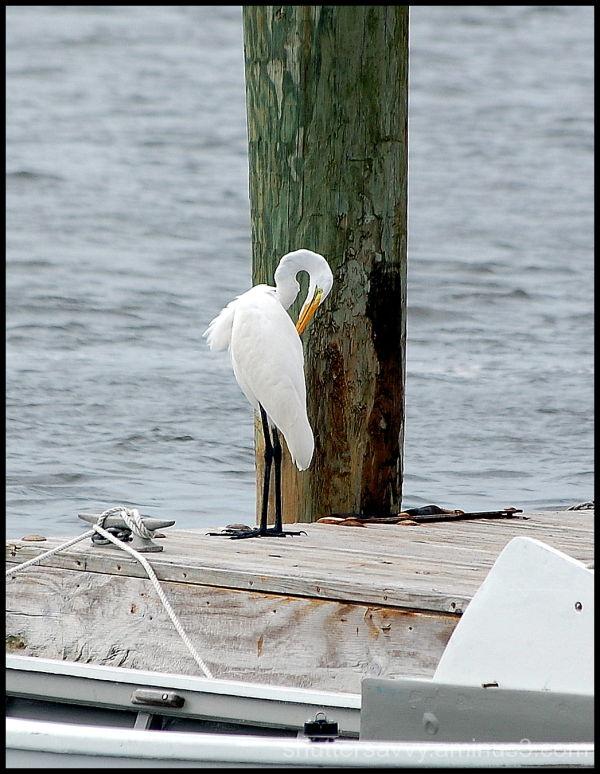 egret, bird