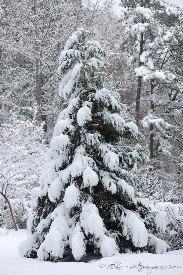 fir tree in snow