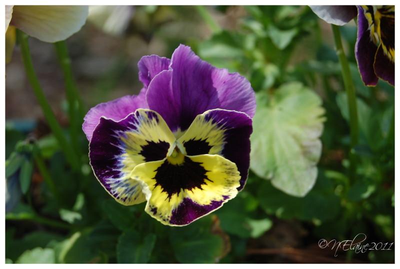 flower, pansy