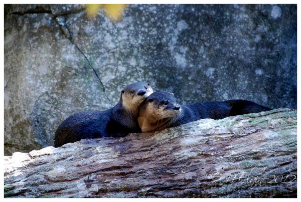 otters on limb