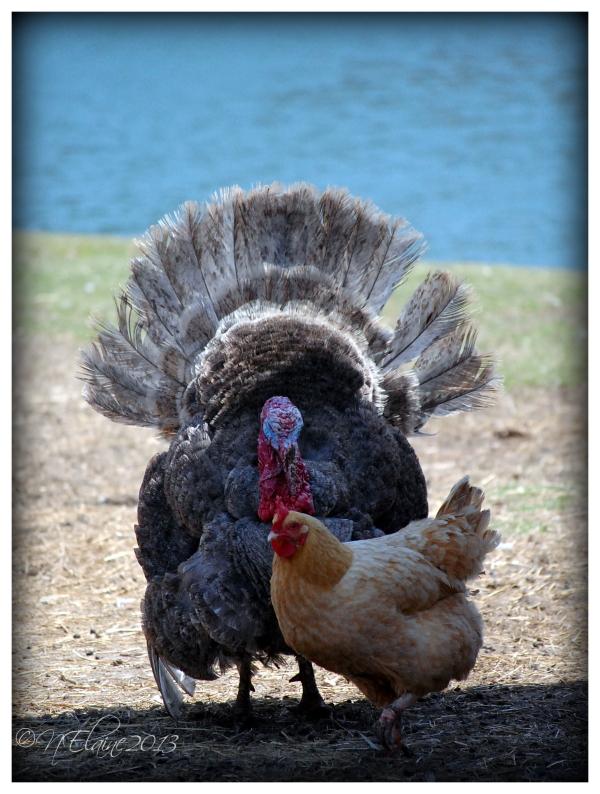 turkey & chicken near water