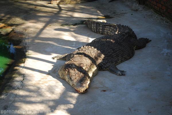 Big Croc on the Dock