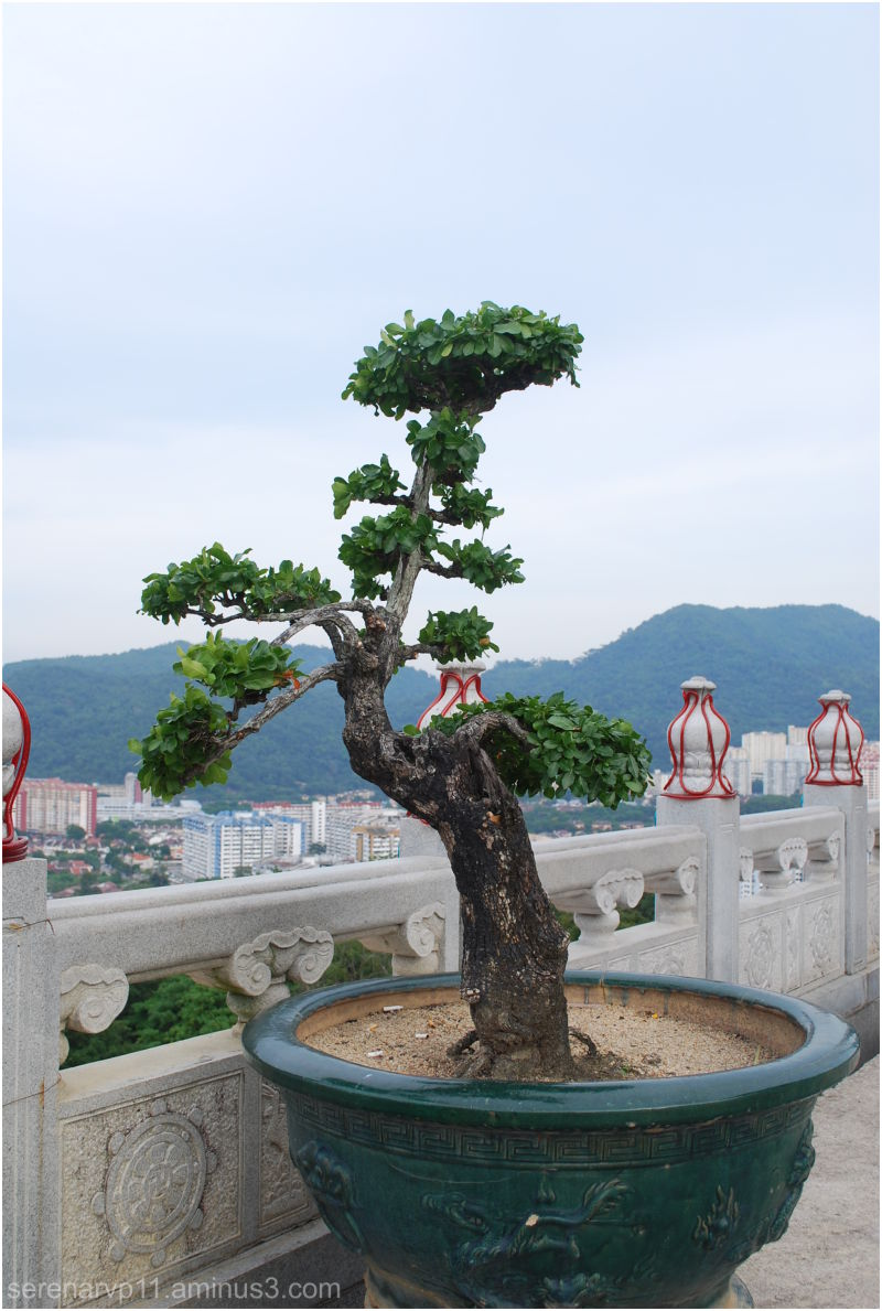 Bonsai Tree?
