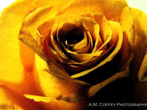 Zombie Rose