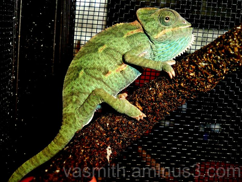 juvenile female veiled chameleon