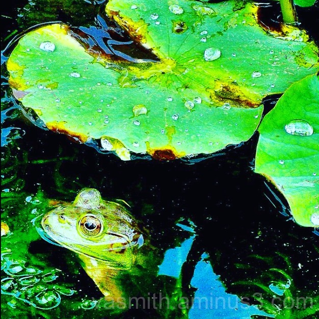 A frog on a Lilly pad