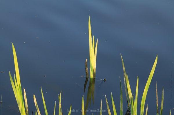 aquatic plant lake princeton