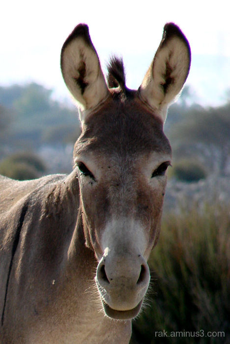 Ras Al Khaimah donkey face