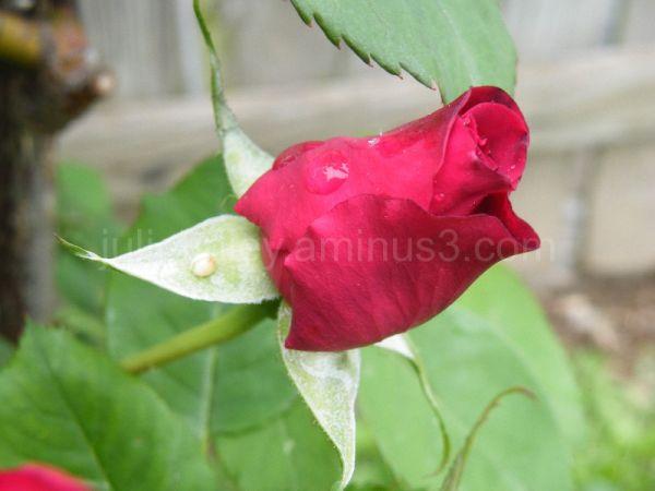 Pigheaded rose
