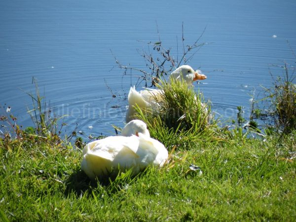 Ducks preening.