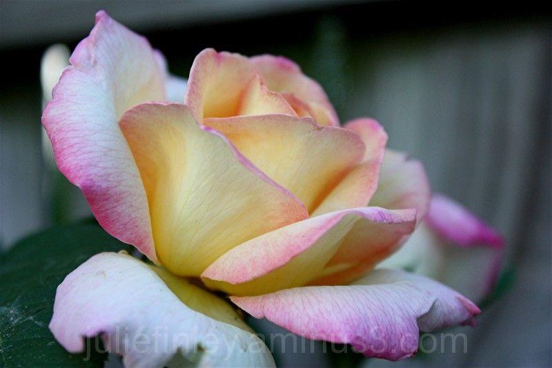 A peaceful peace rose.