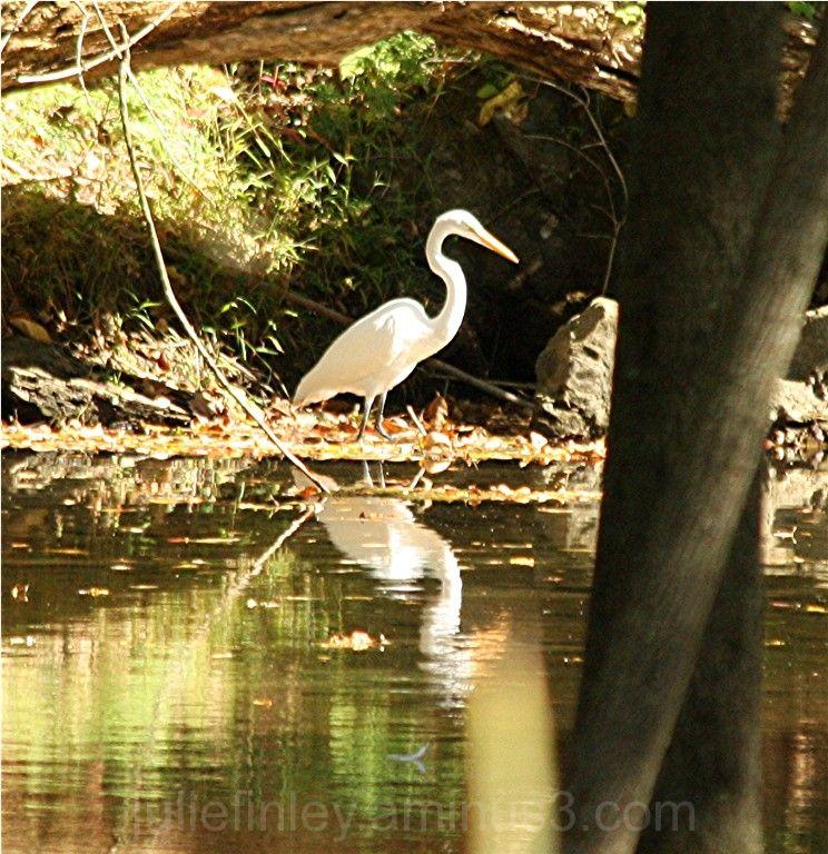 Wild egret.