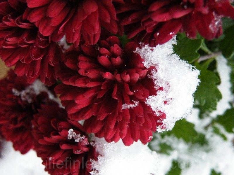 Mums with snow