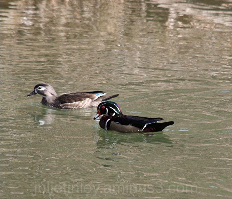 Male & female wood ducks.