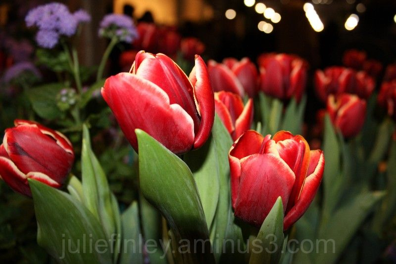 tulips once again.