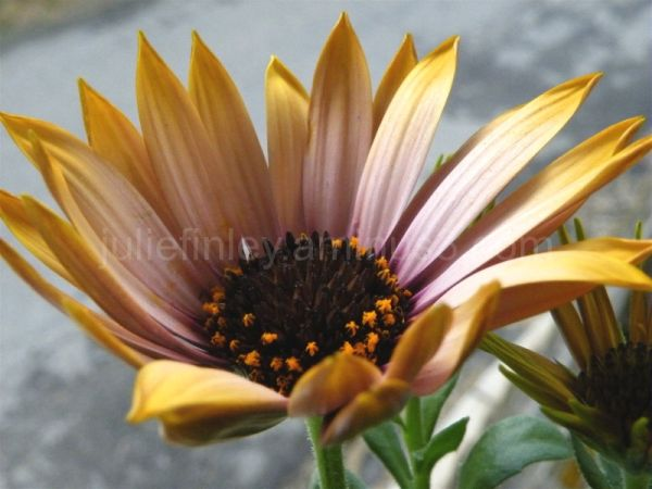 Different African Daisy