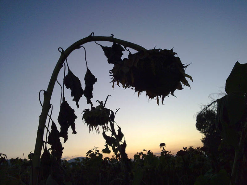 Sunflower in Sunset