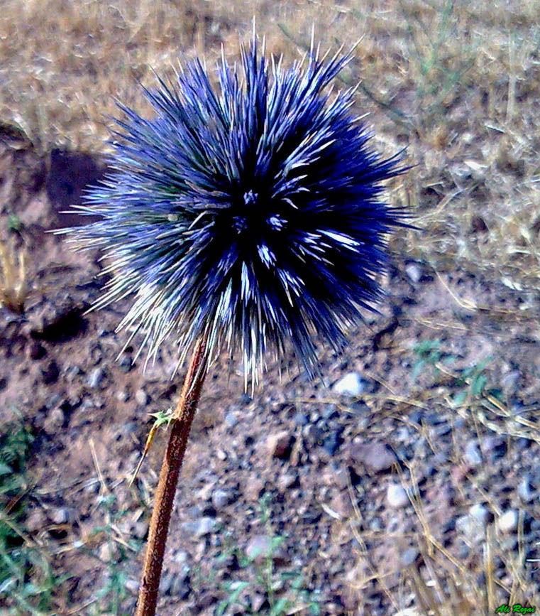 My Favorite Thorn Flower