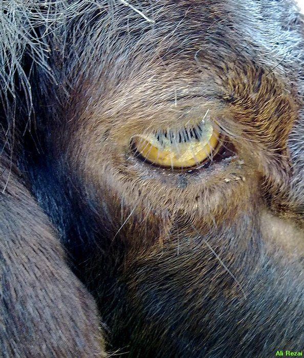 Sheep eye