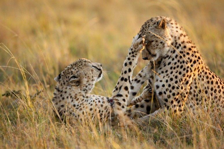 Jeunes guépards en train de jouer