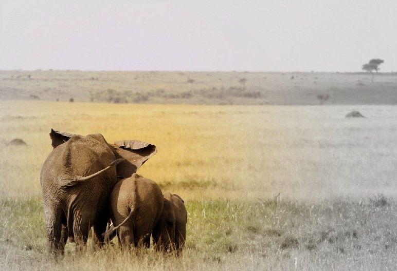 Eléphants, Masaï-Mara, Kenya
