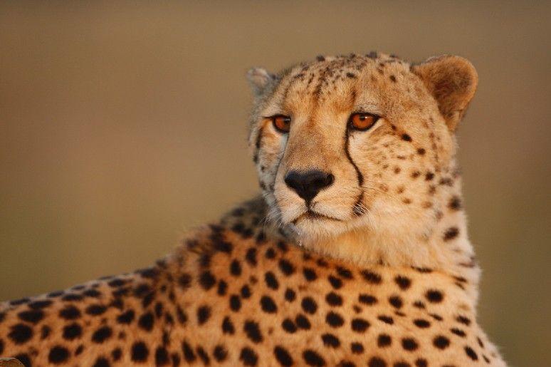 Afrique, Kenya, Masaï Mara, guépards (Kenya)
