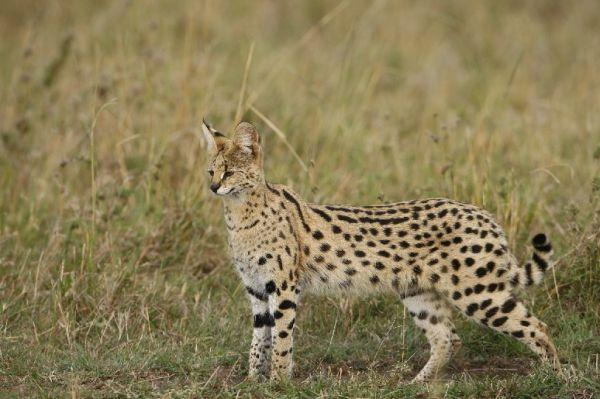 Afrique, Kenya, Masaï-Mara