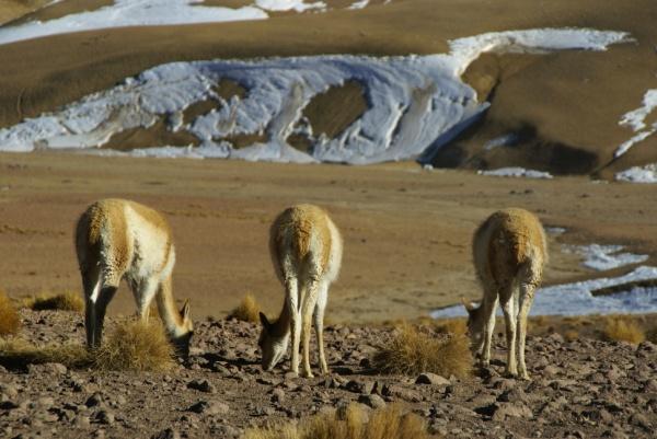 Chili, vigognes, désert d'Atacama