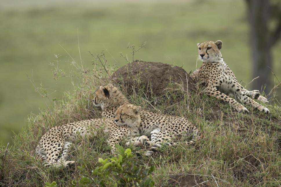 Kenya, Masai Mara, guepards