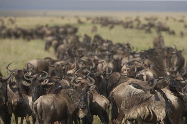 Kenya, Masai Mara, migration des gnous