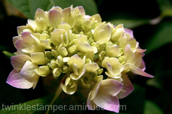 Hydrangea in a sea of green
