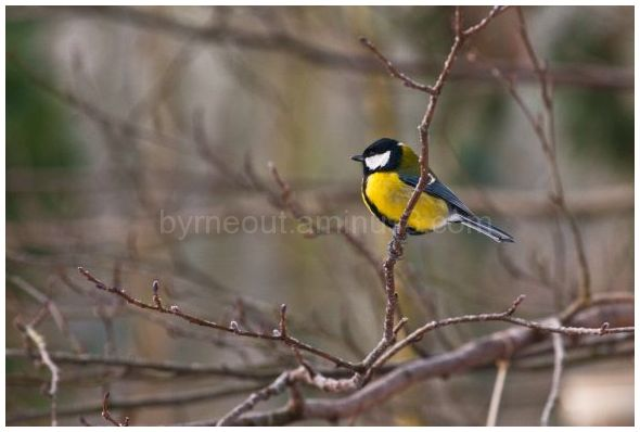 Great Tit Series (2 of 5)