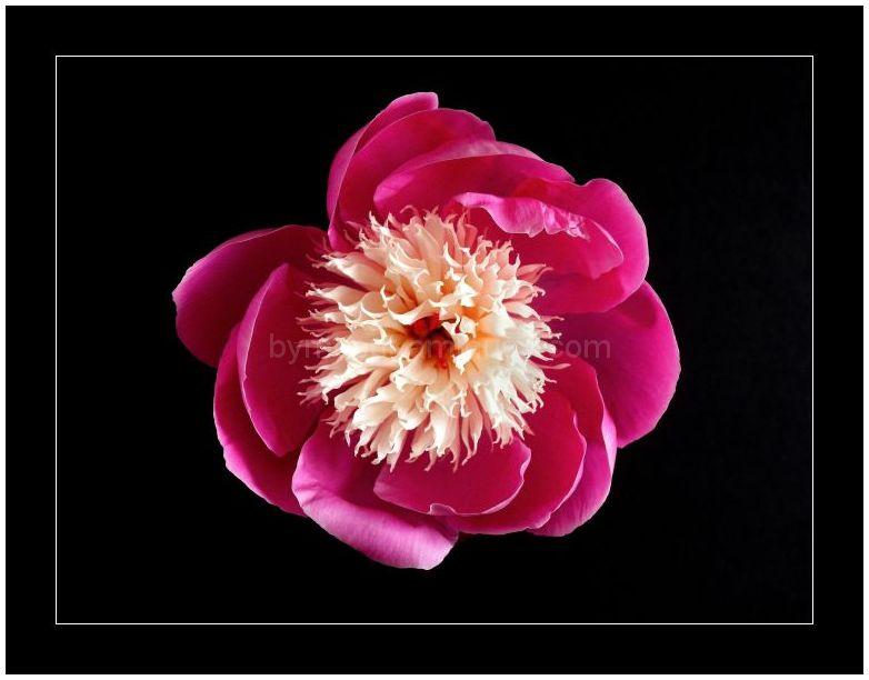 Peony - Bowl of Beauty 1