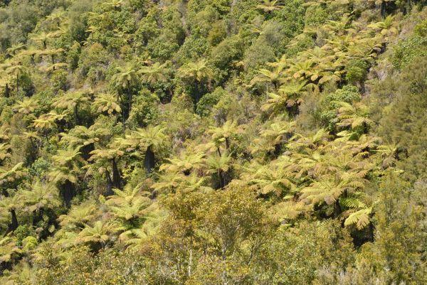 Farn forest in New Zealand