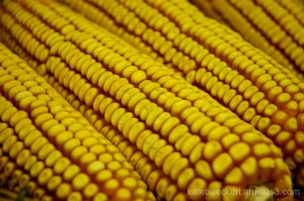 At the fair - seed corn