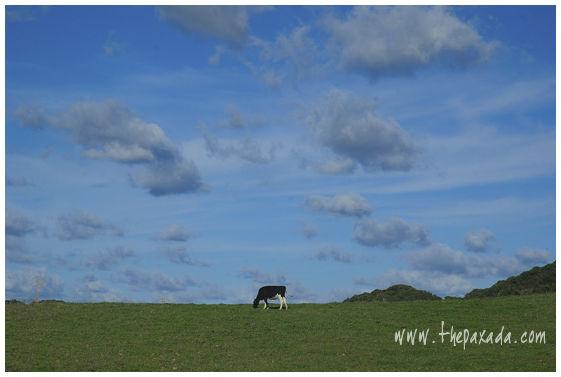 fistro de la pradera, vaca.