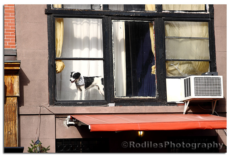 Dog on the Window