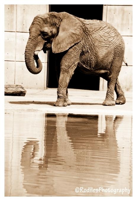 Elefante en cautiverio