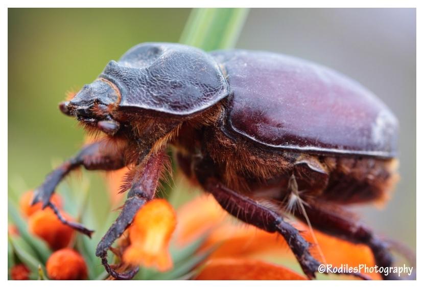 Escarabajo Disecado