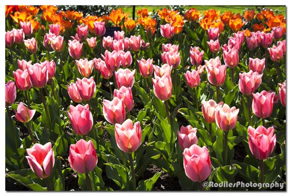 Los Tulipanes