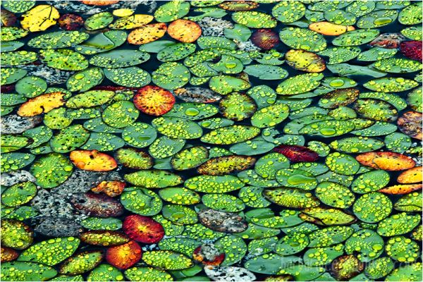 Pattern on a Lily Pond in Maine